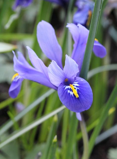 Iris reticulata (3)