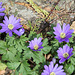 Anemones blanda (3)