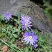 Anemones blanda (4)