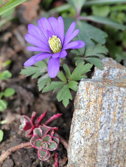 Anemones blanda (5)