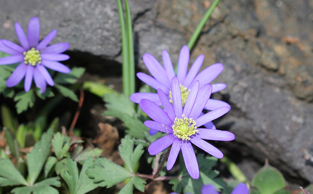 Anemones blanda (2)
