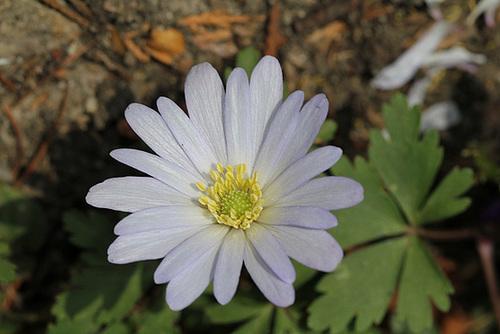 anemone blanda blanche