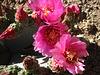 Cactus Flower (1387)