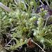 Rhytidiadelphus triquetrus (2)