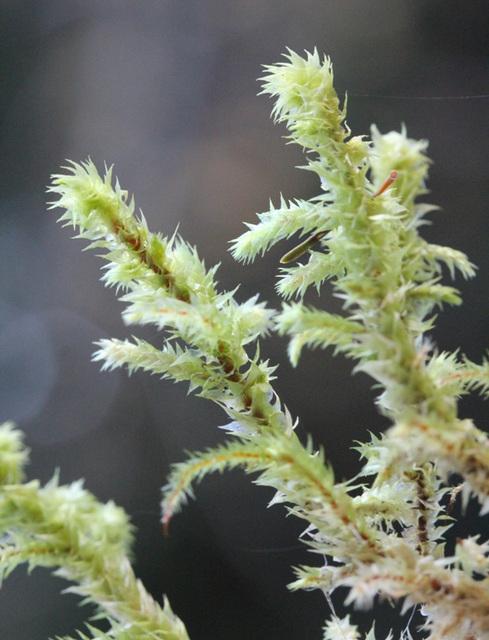 Rhytidiadelphus triquetrus