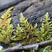 Hypnum lacunosum