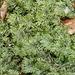 Hylocomnium splendens