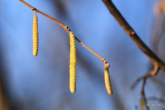 Spring is in the air - Hazel Catkins