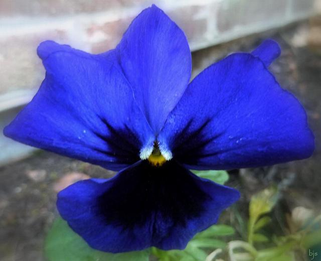 Papillon bleu !