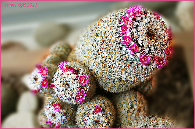 Mammillaria meissneri