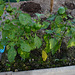 Gut gedüngt- die Paprikapflanzen bedankten sich mit einer 2.Blühphase..