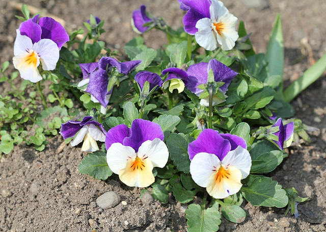 viola cornuta hybride