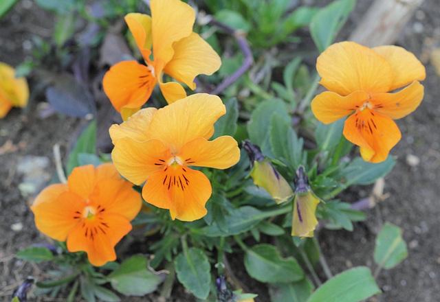 Viola cornuta (2)