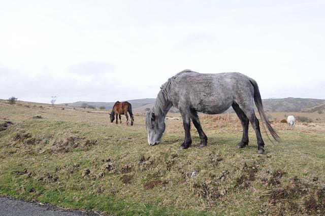 Pferde im Dartmoor