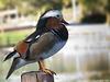 Pato mandarín (Aix galericulata)(♂)