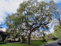 Tree in Pasadena (0115)