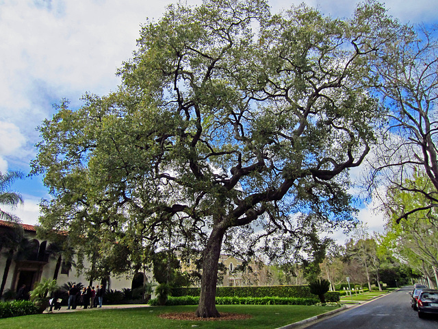 Tree in Pasadena (0115)