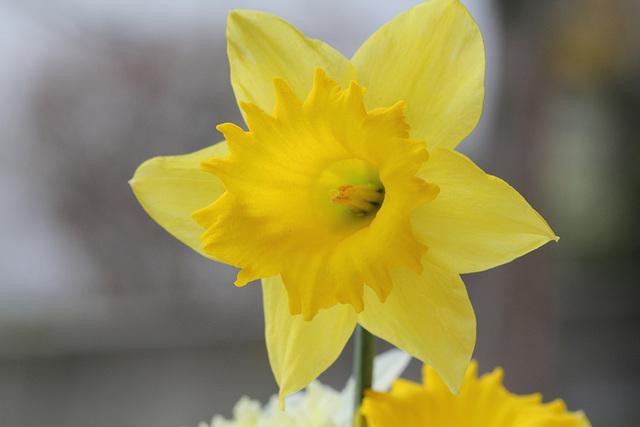 Narcisse hybride grande fleur (4)