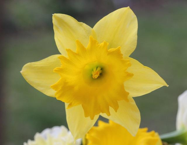 Narcisse hybride grande fleur