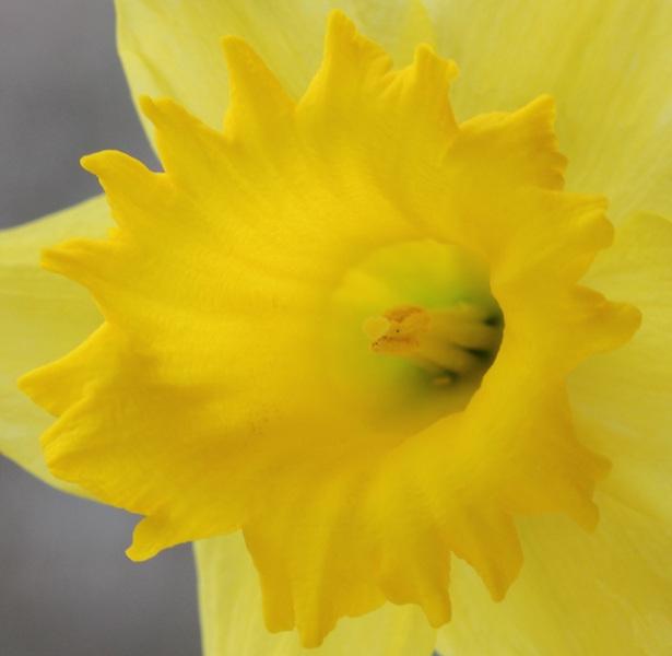 Narcisse hybride grande fleur-