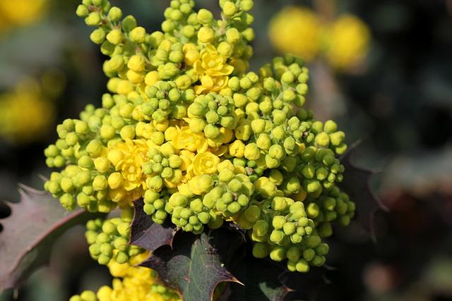 Mahonia x wagneri ( aquifolium x pinnata)