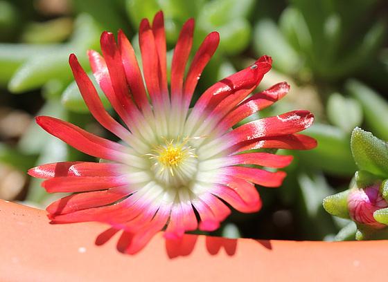 Aizoaceae du jardin  10618654.3d1d0658.560