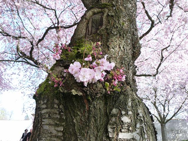 Japanische Zierkirschenblüte