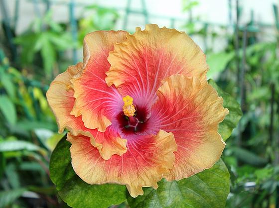 Hibiscus : conseils de culture et floraisons 10268701.c5b817f7.560