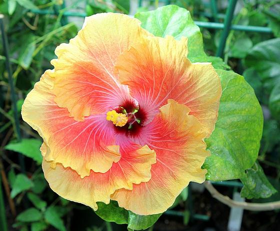 Hibiscus : conseils de culture et floraisons 10268702.7d162f62.560