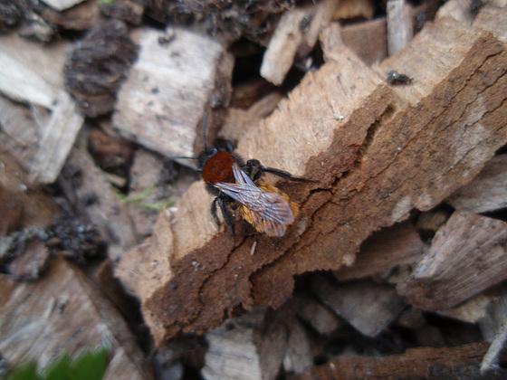 t'es qui toaaaaaaaa ? Andrena armata, une abeille solitaire. 10178843.8748d088.560
