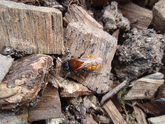 t'es qui toaaaaaaaa ? Andrena armata, une abeille solitaire. 10178844.f87e7544.560