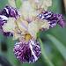 Iris Gnus Flash