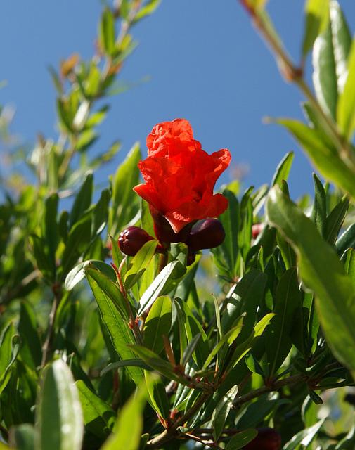 fleurs de grenadier 2