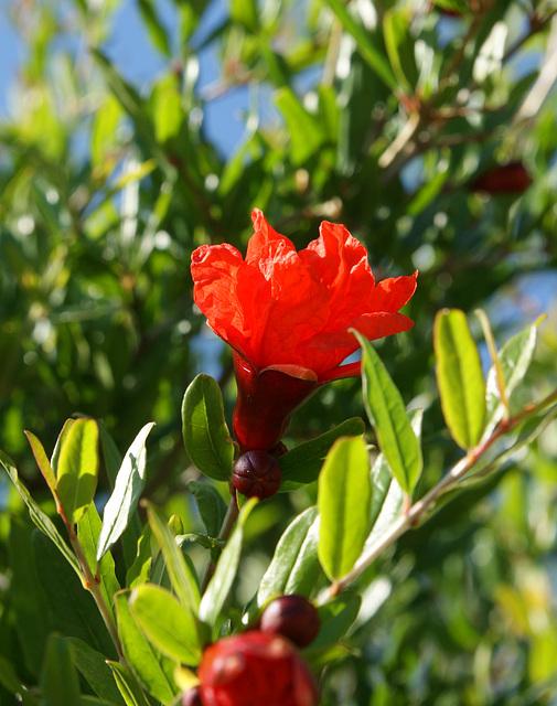 fleurs de grenadier 1
