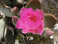 Cactus Flower on the trail to Maidenhair Falls in Anza-Borrego (1661)