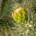 Cholla Bud on the trail to Maidenhair Falls in Anza-Borrego (1629)