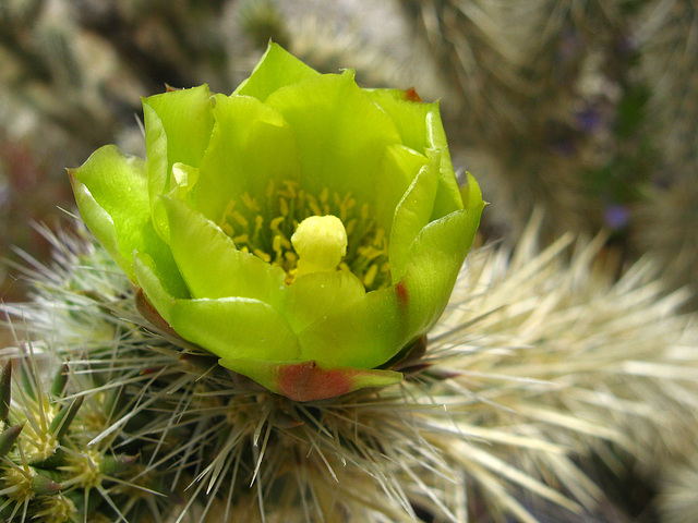 Cholla Flower on the trail to Maidenhair Falls in Anza-Borrego (1663)