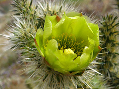 Cholla Flower on the trail to Maidenhair Falls in Anza-Borrego (1664)