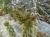 Cholla on the trail to Maidenhair Falls in Anza-Borrego (1633)
