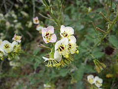 Flowers on the trail to Maidenhair Falls in Anza-Borrego (1622)
