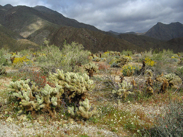 Flowers on the trail to Maidenhair Falls in Anza-Borrego (1627)