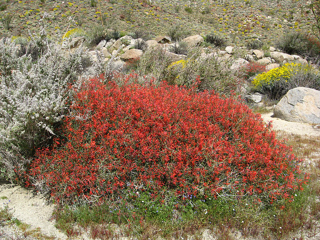 Flowers on the trail to Maidenhair Falls in Anza-Borrego (1638)