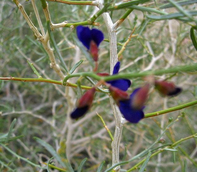 Indigo Blooms on the trail to Maidenhair Falls in Anza-Borrego (1623