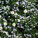Blumenteppich - tapis fleuri -