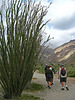 Ocotillo on the trail to Maidenhair Falls in Anza-Borrego (1624)