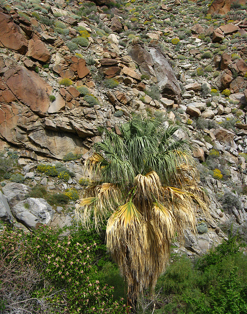 On the trail to Maidenhair Falls in Anza-Borrego (1657)