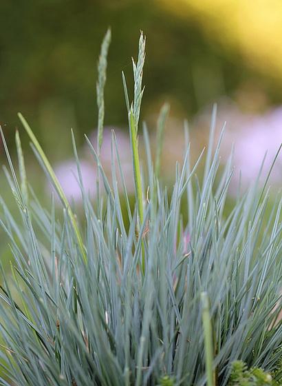 les petites Poaceae et Cyperaceae 10409081.80fa54c3.560