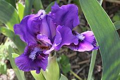 Iris nain violet