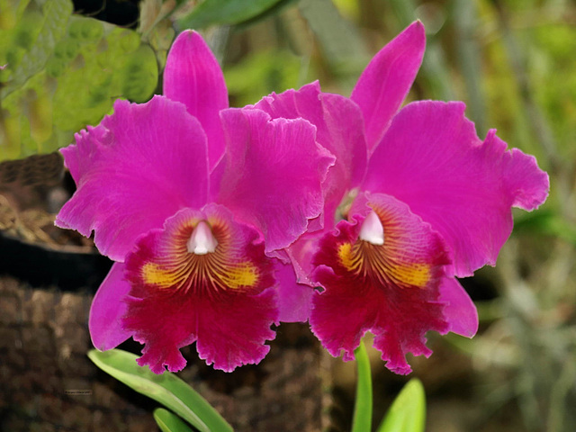 P4013940ac Madeira Large Pink Orchids