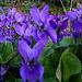 Violette, jolie violette !